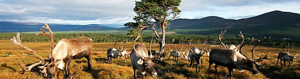 Deer ciervos tours escocia scotlandtrips