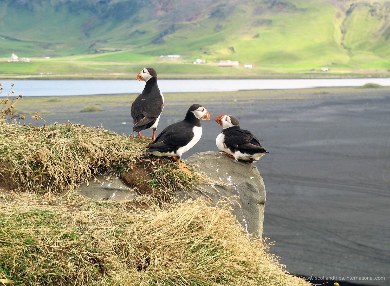 puffins feroe faroe island islas tours scotlandtrips